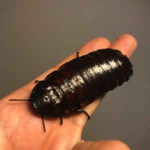 ゴキブリ 南米 南米ゴキブリを野外で確認、千葉 繁殖容易、害虫となる恐れ|秋田魁新報電子版
